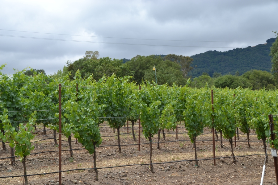 Robert Hunter Vineyard